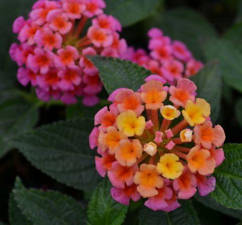Native Texas Nursery Perennials Anne Marie Lantana Lantana Beautiful Flowers Gardening Blog