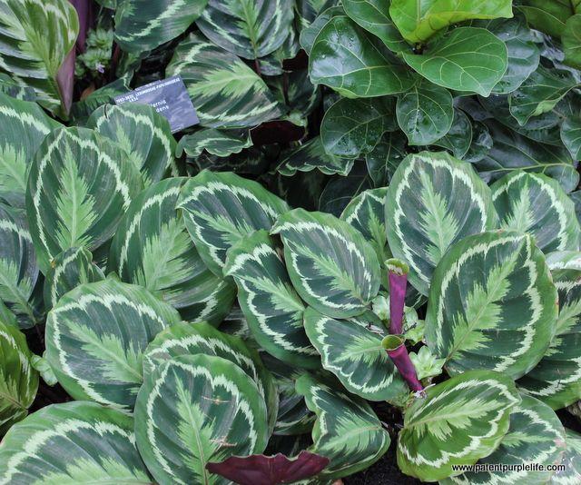 Varigated Leave, Kew Gardens