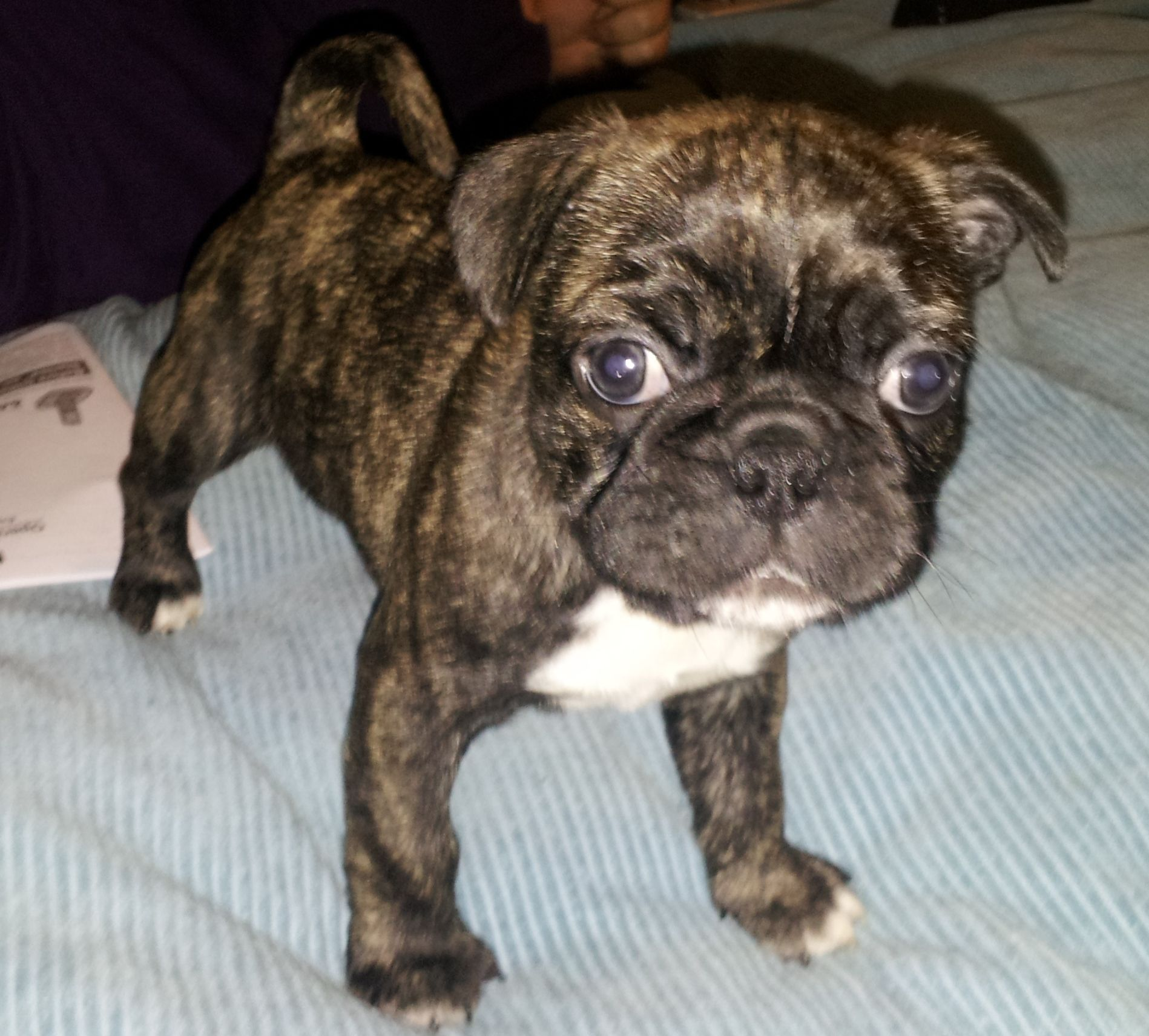 this is my bugg taz he is a boston terrier pug mix he is 7 weeks
