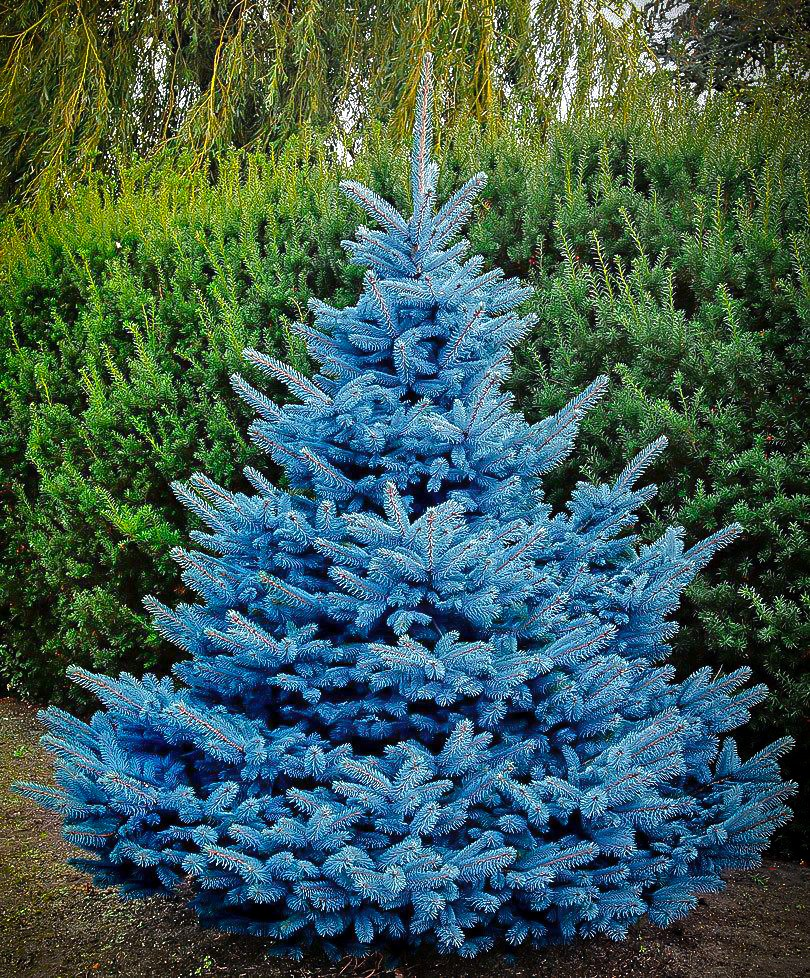 Colorado Blue Spruce Tree Pictures