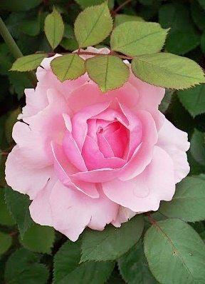 Pin De Vicki Zola Em Flowers Roseiras Bela Rosa Belas Flores