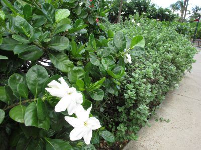gardenia buttons small leaf