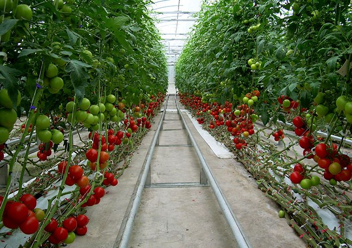 Tomato row in our greenhouse Greenhouse farming, Tomato