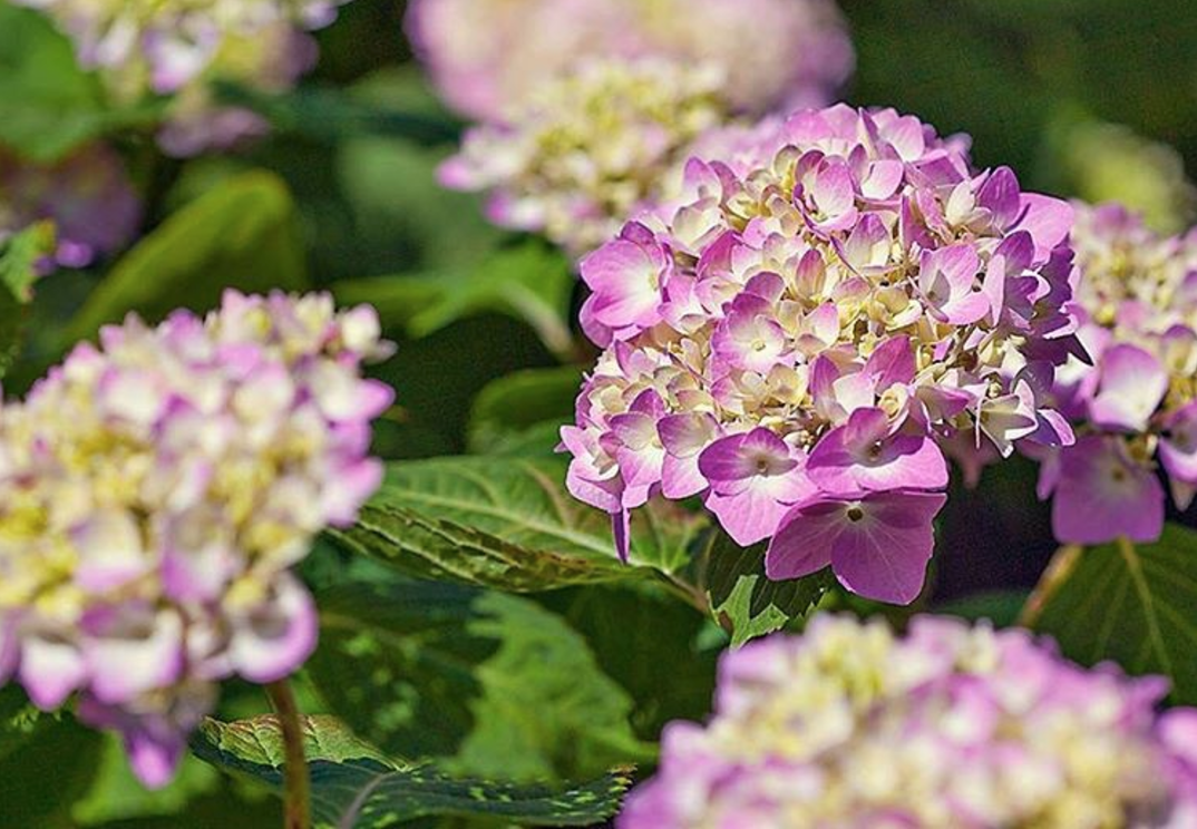 How To Grow Healthy Beautiful Big Hydrangeas Feed Them With Nelson Plant Food S Colorstar A Fast Act Endless Summer Hydrangea Hydrangea Not Blooming Plants