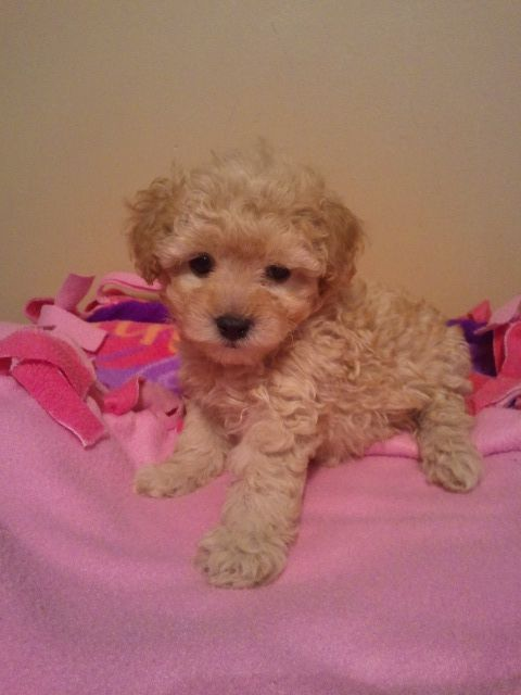 Dora X Bingo Puppy Toy Poodle Poodle Puppies