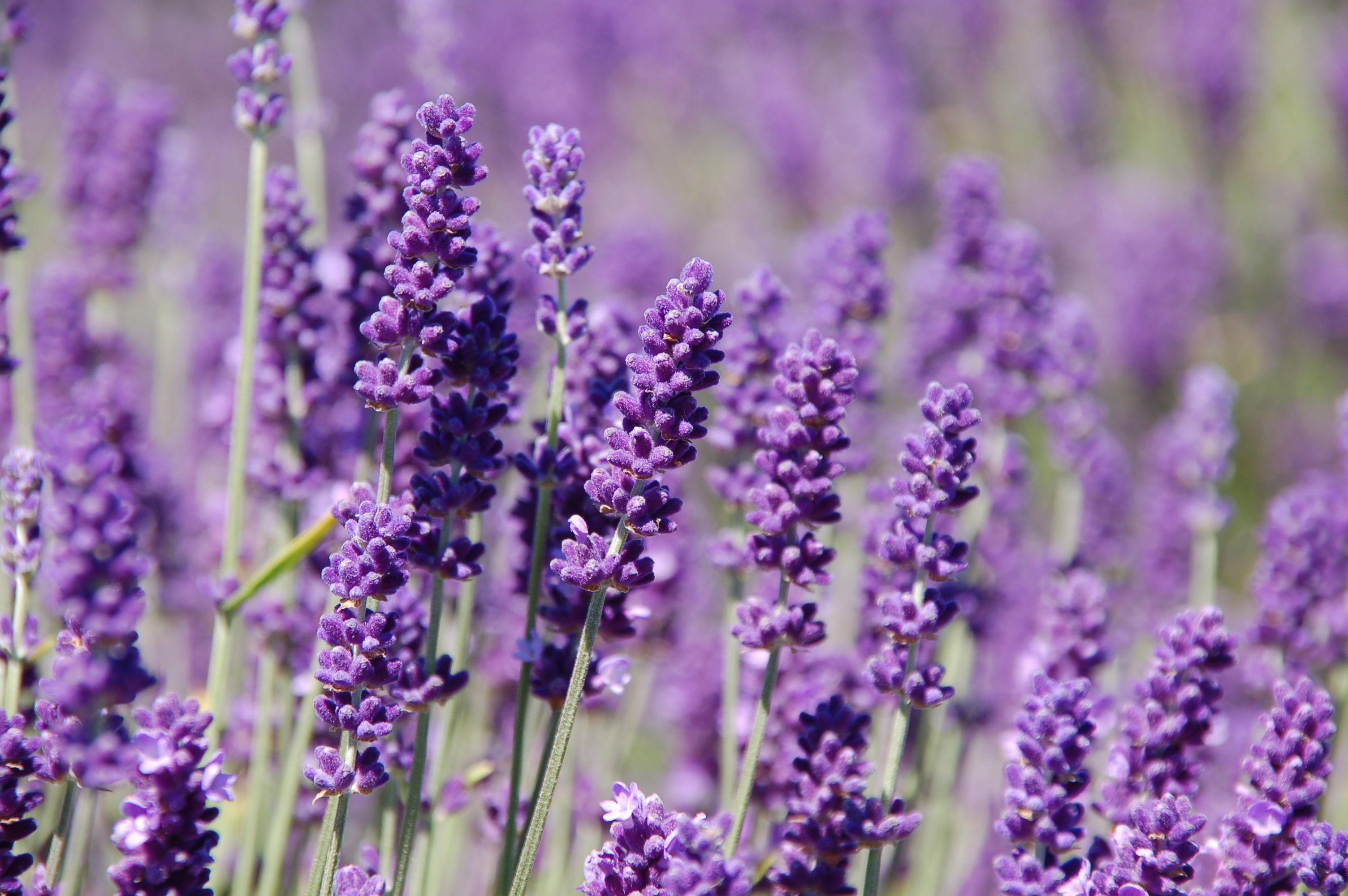 Lavendel Quiz Amazon Dr Bronner S Shaving Gel Lavender 7 Oz Health
