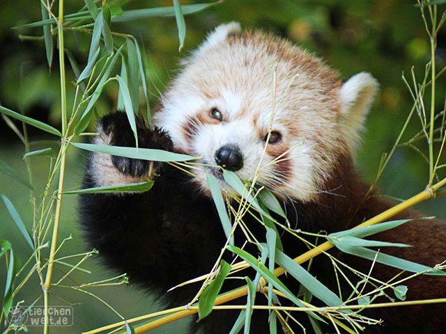 Roter Panda Wie Der Grossen Panda Frisst Ebenfalls Bambus Und Hat Wie Sein Grosser Cousin Einen Extra Daumen Zum Klettern Roter Panda Panda Ausgestopftes Tier