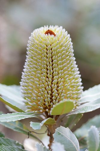 Banksia Serrata Flora Flowers Australian Native Plants Australian Flowers