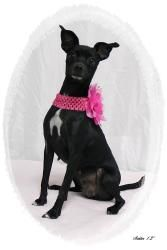Bessie is an adoptable Chihuahua Dog in Emporia, KS. If interested in adopting a pet you will need to fill out a request to adopt. This needs to be on file overnight before you are able to adopt. The ...
