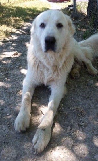 Great Pyrenees Dog For Adoption In Rockaway Nj Adn 565857 On Puppyfinder Com Gender Male Age Young Great Pyrenees Dog Dog Adoption Great Pyrenees