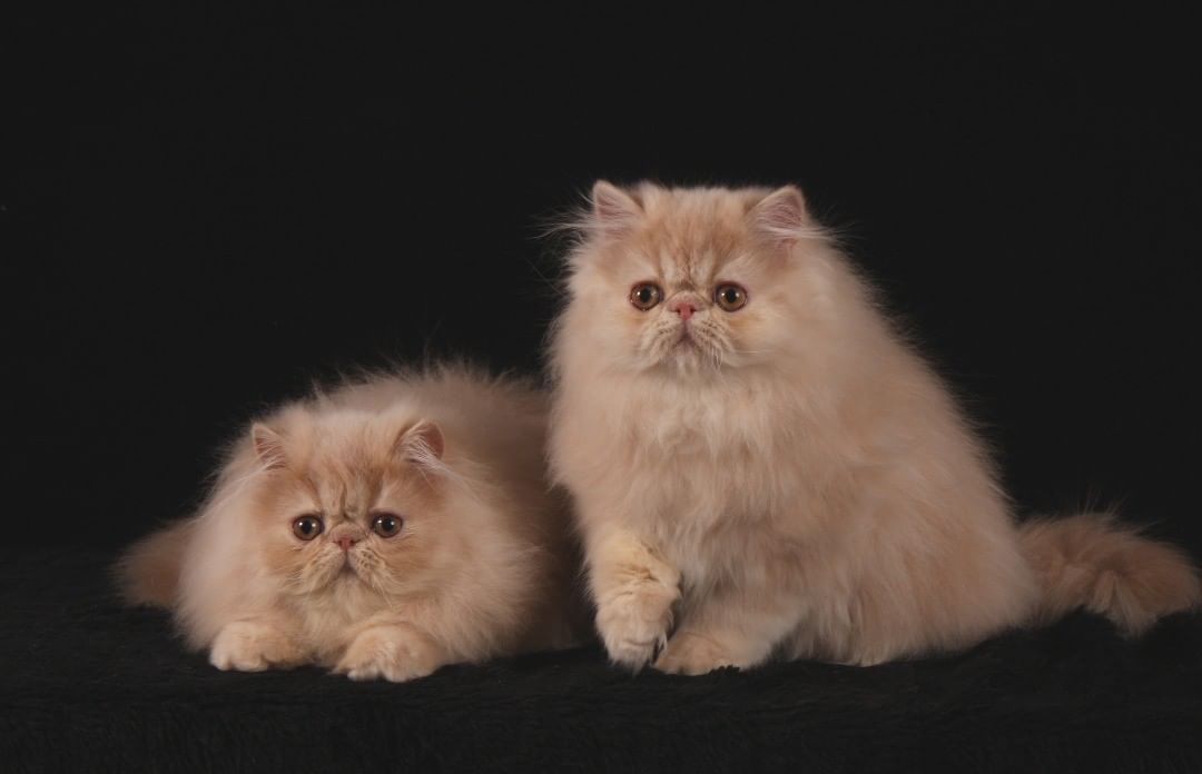 eo & Lumo. Sweet boys, now living with Sanni. Photo by my dear friend Marita. #tuituipersiancats #persiancat #persiancatsofinstagram #Leo