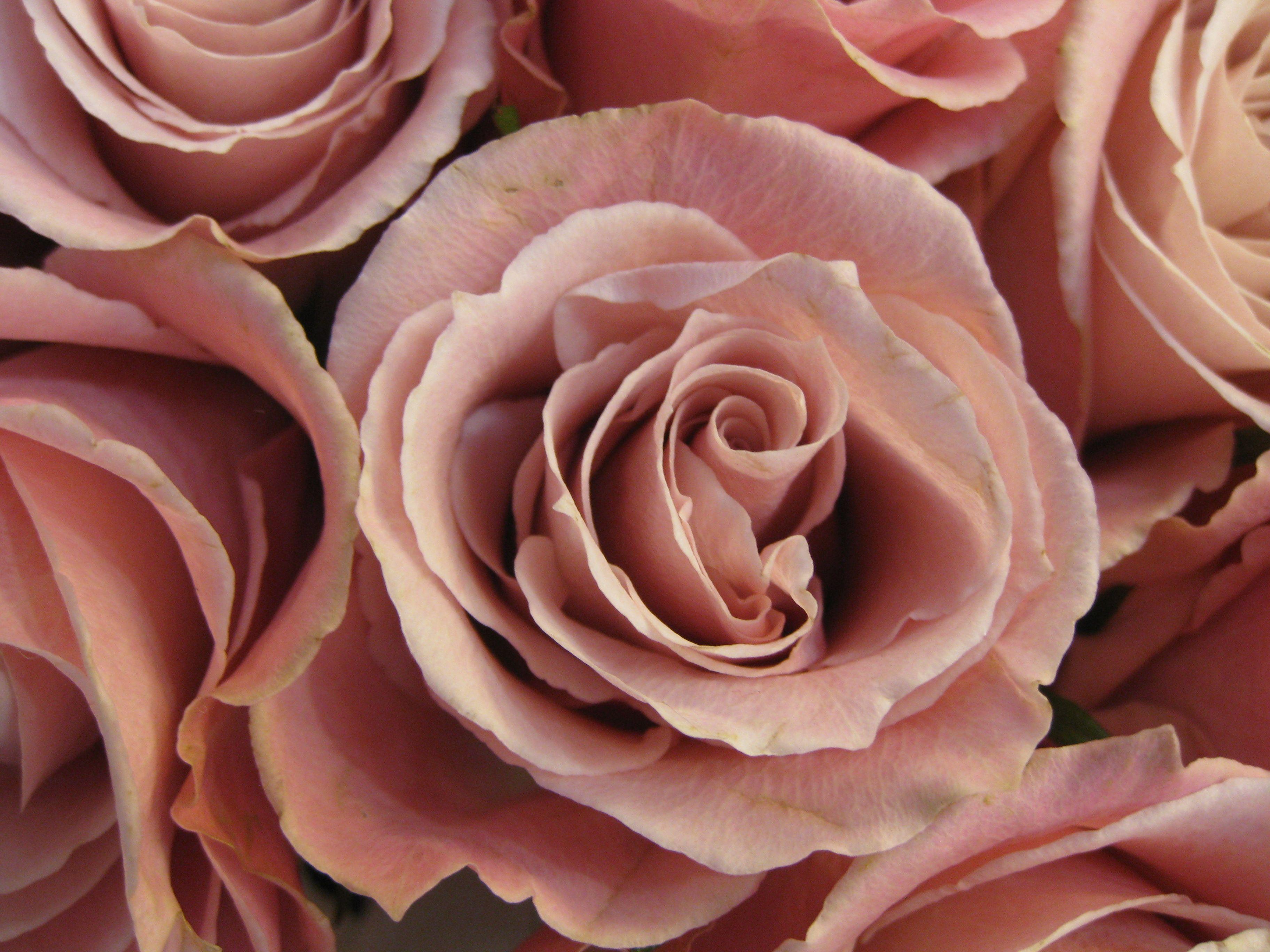 Dusty Pink Desert Rose Pink Desert Wedding Flower Types Dusty Rose