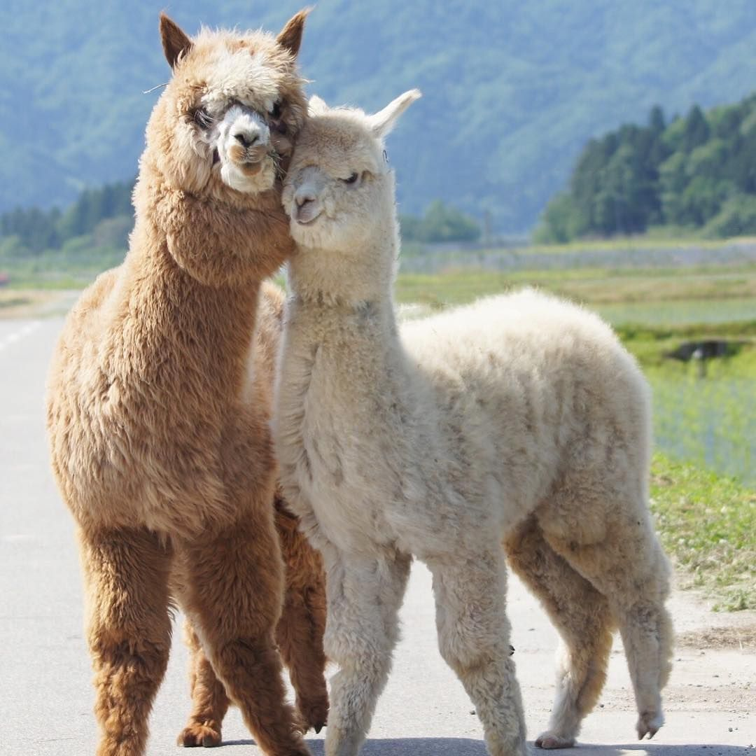 Image May Contain Sky Outdoor And Nature Cute Alpaca Animal