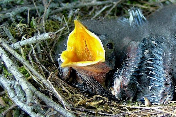 4b629bb1aab6b11b45e921bdd6b2ceeb - How To Get A Wild Baby Bird To Eat