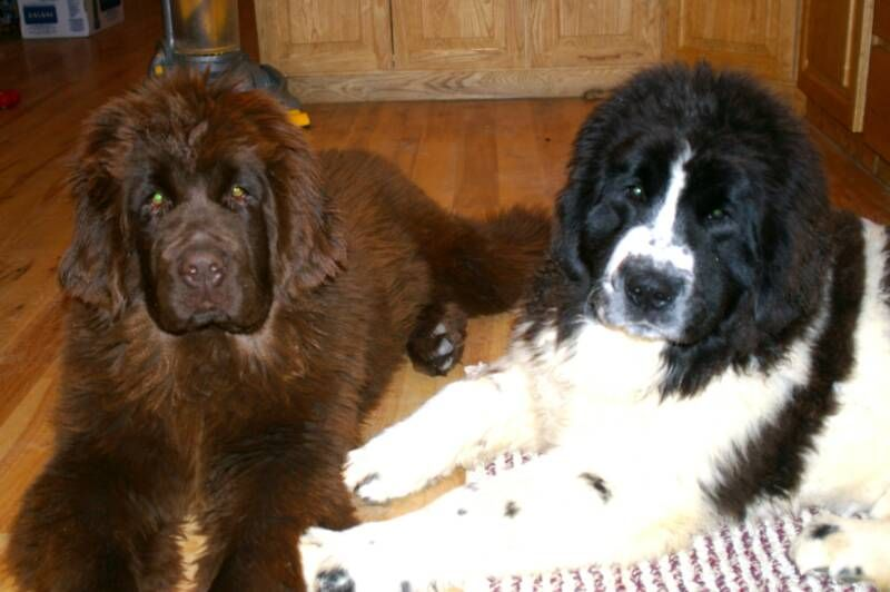 Http Www Happyvalley Newfoundlands Com Chocee And Sienna