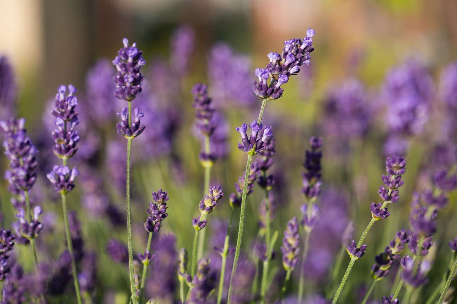 How to grow english lavender plants in 2020 lavender