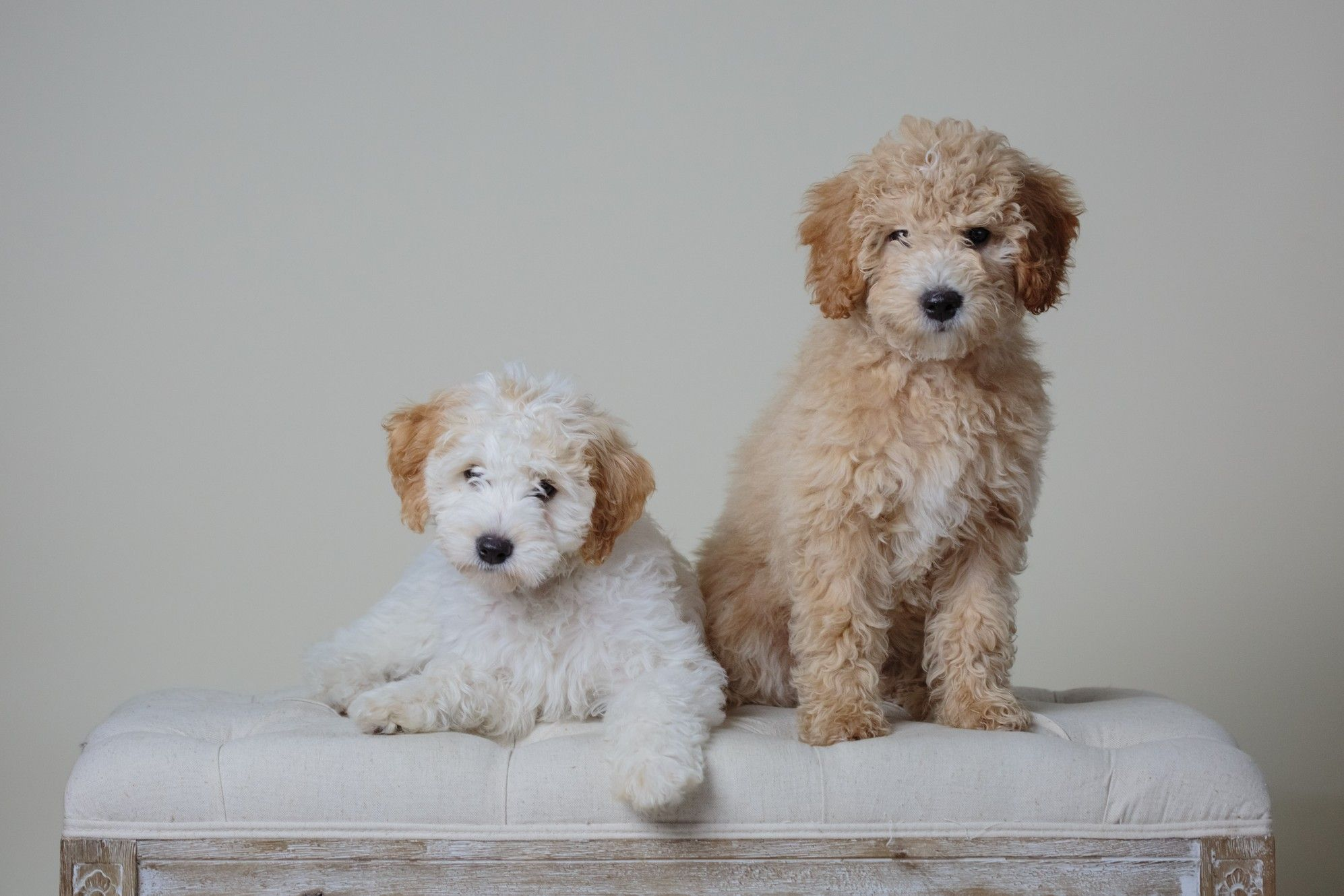 Iowa goldendoodle breeder with goldendoodle puppies for