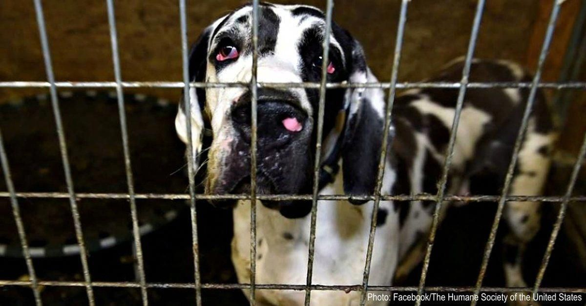 Dozens Of Great Danes Will Finally Be Available For Adoption After Being Rescued From Mansion Of Horror Great Dane Great Dane Puppy Great Dane Funny