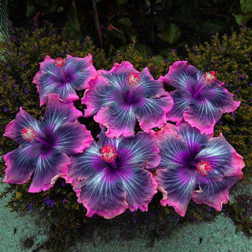 Purple Dream <3 #Hibiscus | Hibiscus | Hibiscus flower drawing
