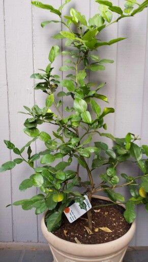 Kefir Lime