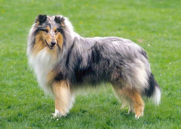 No 5 Collie Vetstreet Com Best Large Breeds For First Time