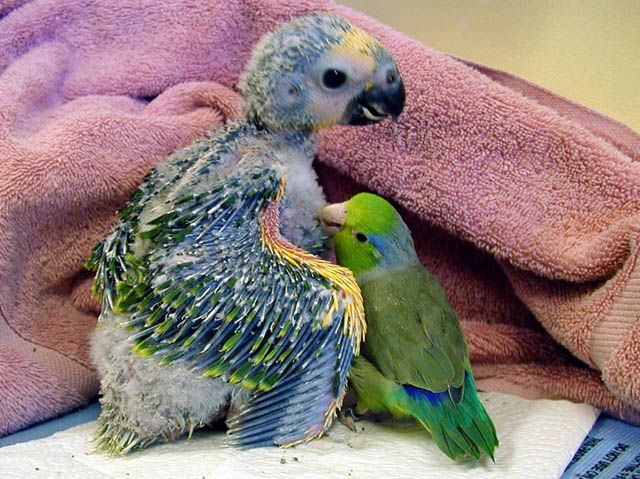 Parrotlet preening Blue-fronted Amazon Parrot baby.