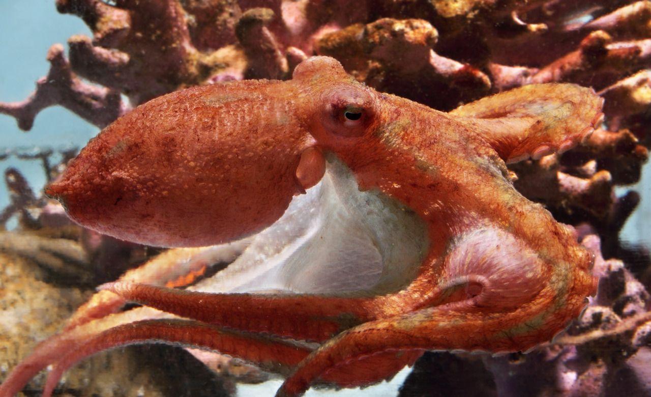 Ricordate il polpo rosso galoppante che nascondeva nella nostra esposizione Shale Reef per un anno prima di essere scoperti vagare attraverso l'Acquario nel mezzo della notte?  Dopo un breve periodo dietro le quinte, il cefalopode celebrità è ora in mostra nel nostro ...
