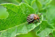 Statt Insektizid Diese Pflanzen Helfen Einander Gegen Schädlinge