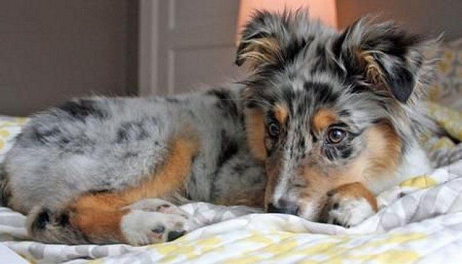 Everette the Australian Shepherd Dog Puppy Australian