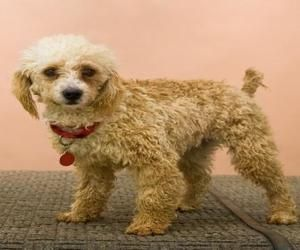 Adopt Joey On Poodle Mix Dogs Poodle Poodle Mix