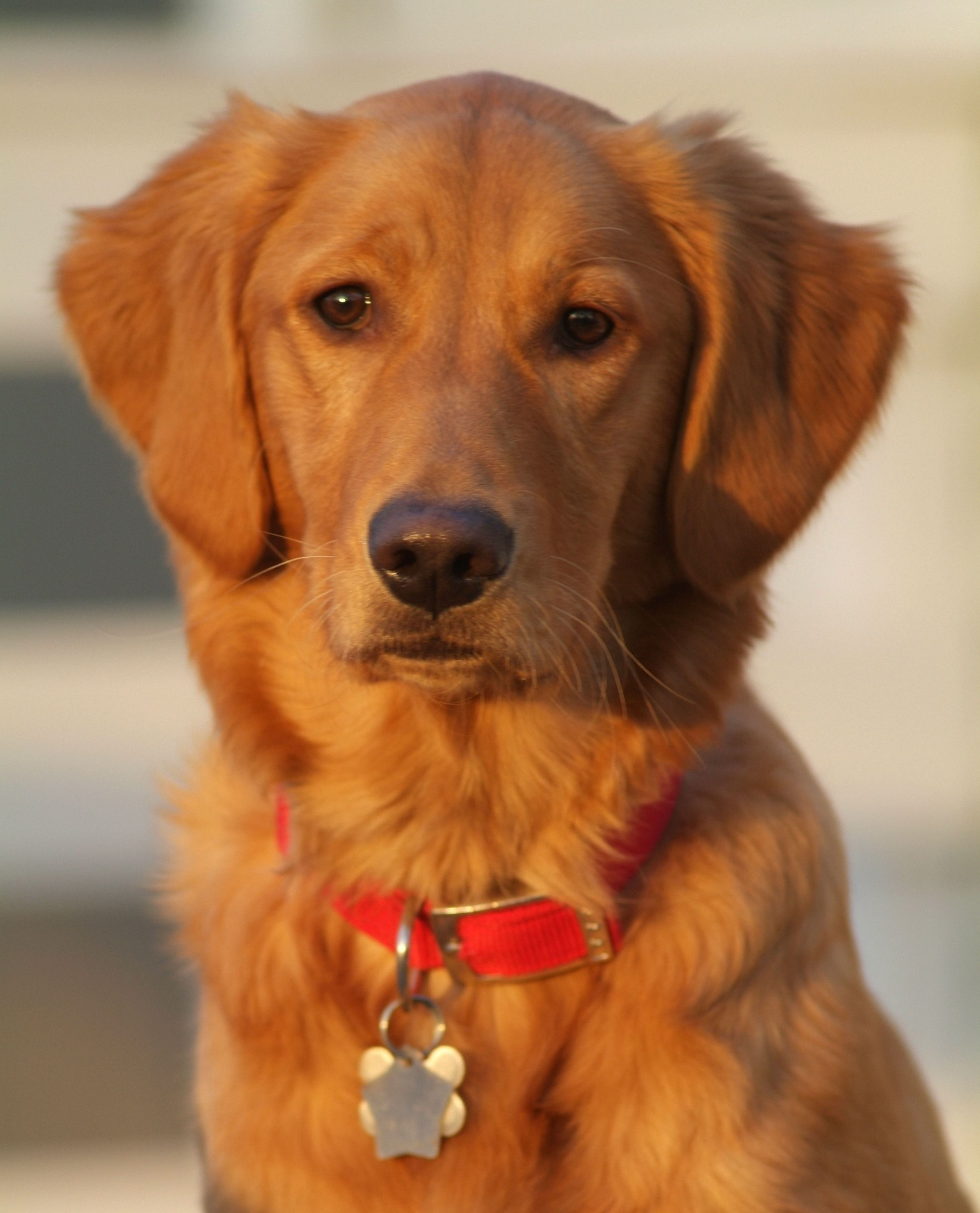 Finley, the Golden Retriever. (With images) Golden