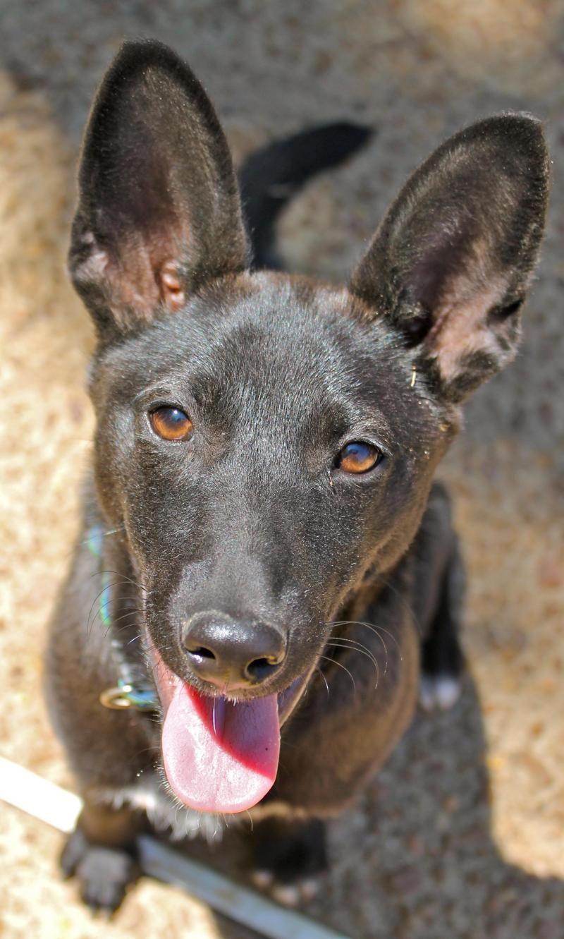 Adopt Jillian on Basenji dogs, Dogs, Animals