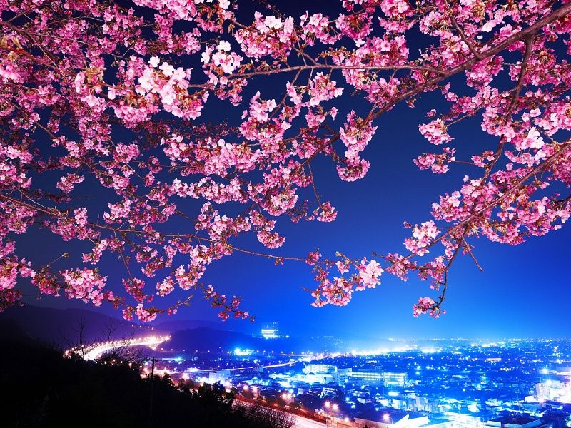 Cherry Blossoms Mimura Japan Hd Wallpaper On Mobdecor Kirschblute Wallpaper Kirschbluten Blumentapete