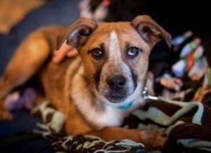 Adopt Inga On Australian Cattle Dog Blue Heeler Blue Heeler Dogs Cattle Dog