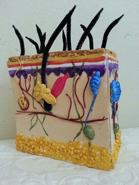 Hand Made Model Of Our Skin Layers Educational Crafts Pinterest