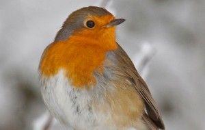 Christmas animals. Robin