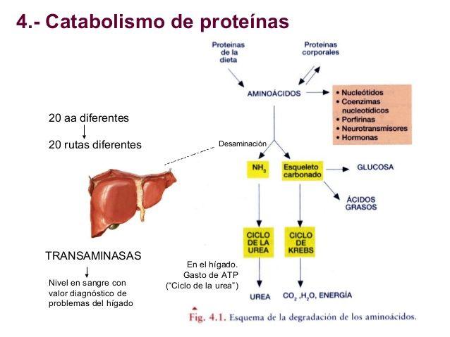 catabolismo de proteinas - Buscar con Google..