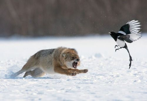 Upvoted: PsBattle: this wolf chasing a magpie via...