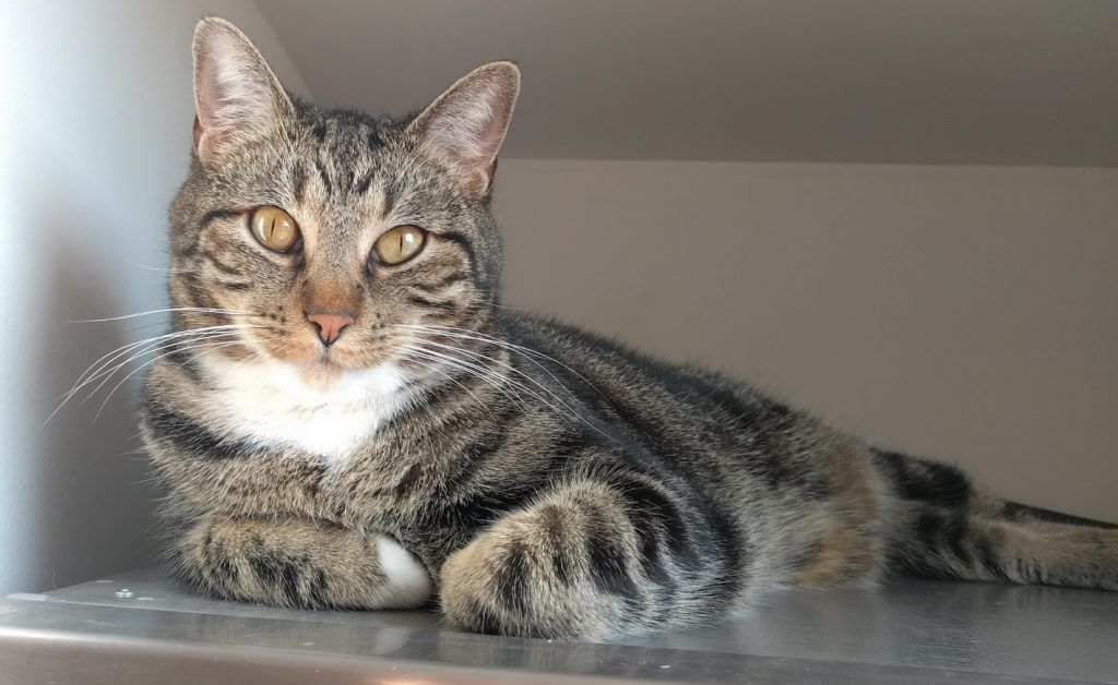 Looking for a delightful tabby cat for adoption in Chicago