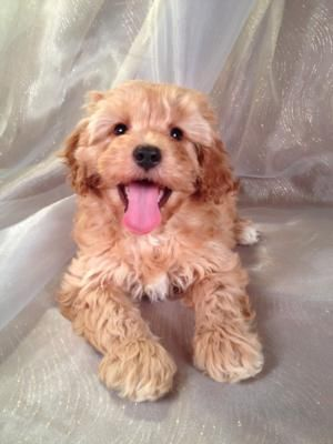 Attention Cockapoo Breeders in FL,ME,MD,MA,NJ,NH,NV,DC,IA
