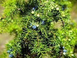 82 - ENEBRO - El género Juniperus de amplia distribución, comprende las especies llamadas comúnmente enebros (que conservan el follaje juvenil espinoso toda su vida) o sabinas (que conservan el follaje juvenil espinoso solo los primeros años). Los juniperos son coníferas arbóreas o arbustivas, pertenecientes a la familia de las Cupresáceas. Dependiendo del punto de vista taxonómico.