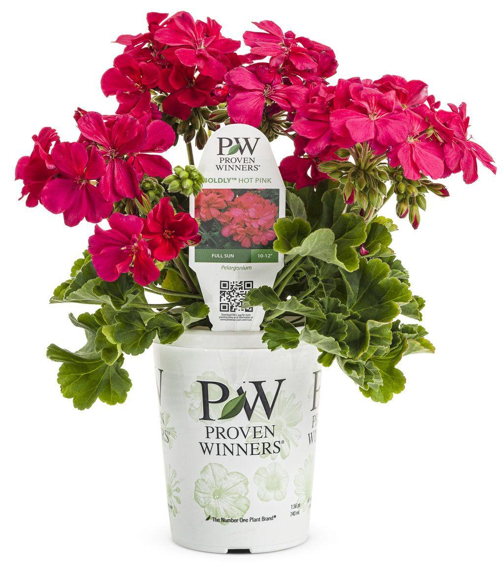 Boldly hot pink geranium pelargonium interspecific