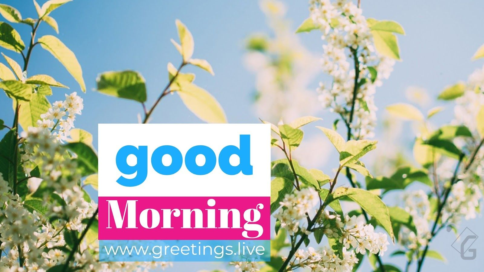 Good Morning Small White Flowers Green Leaf Hd Greetings Live
