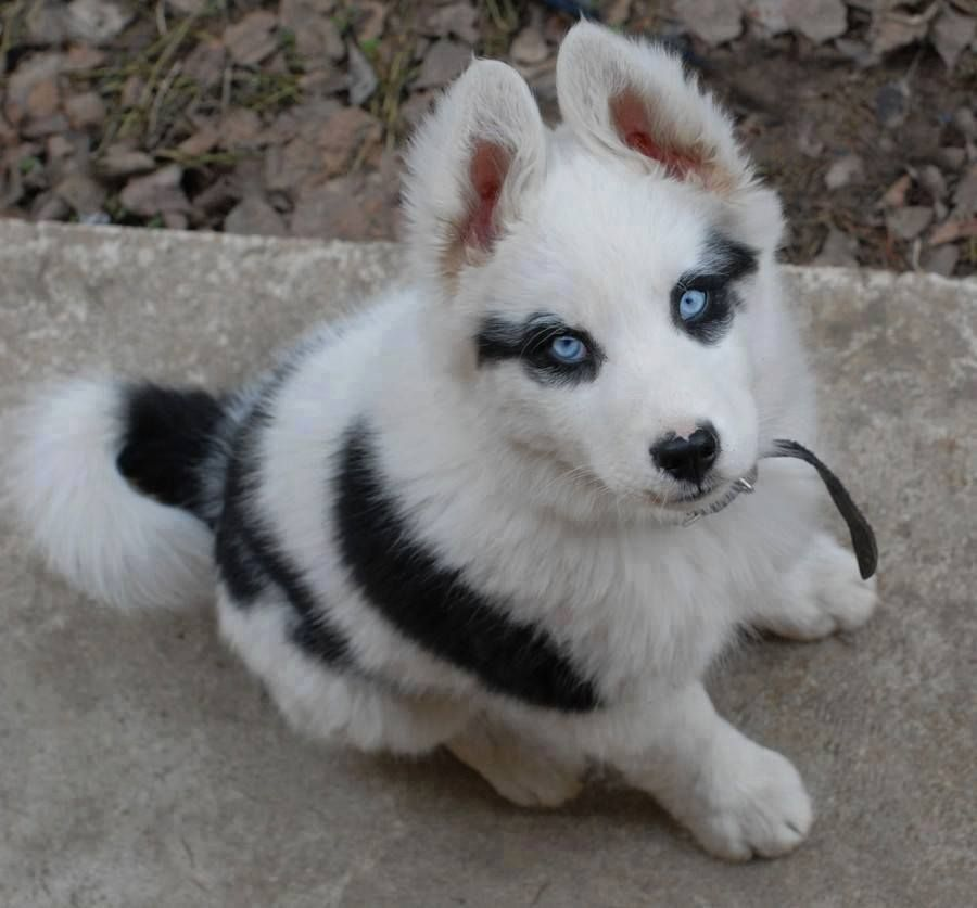 Such A Beautiful Husky Puppy Cute Animals Puppies Animals