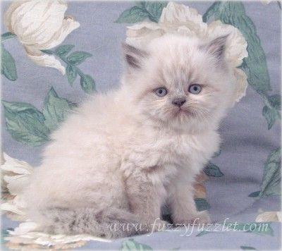 Little crazy kitty Jingles Kitten for sale, Persian cat