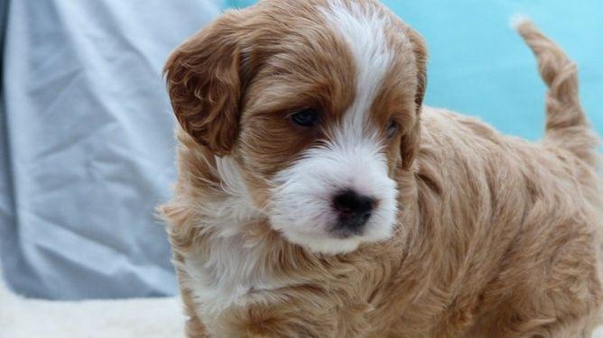 Spoodle puppy Puppies, Spoodle, Puppies for sale