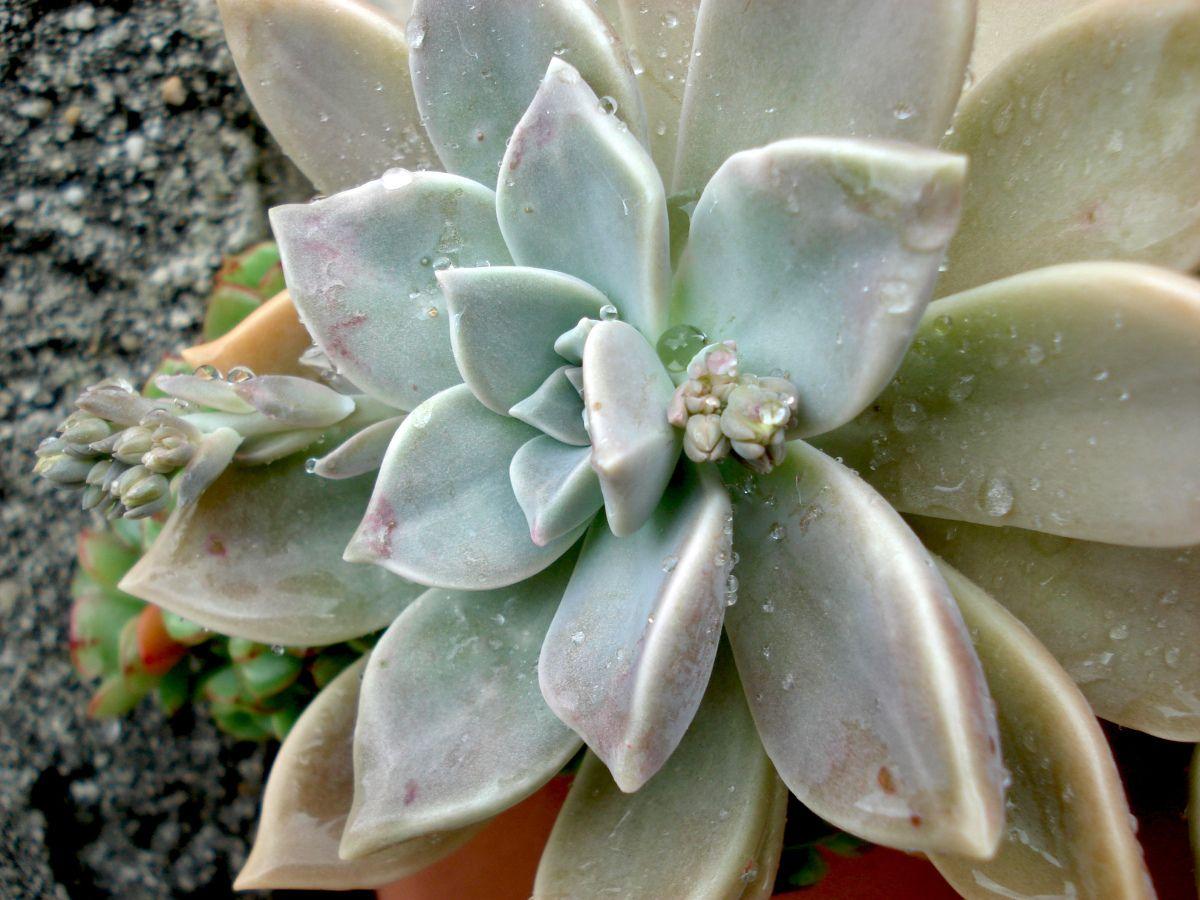 Plante De Porcelaine Graptopetalum Paraguayense Con Imagenes