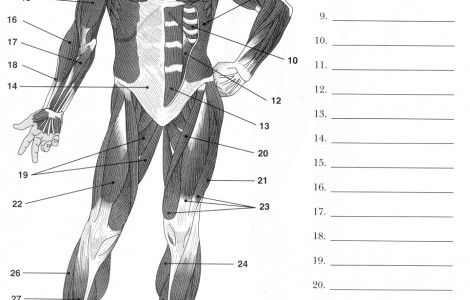 Anatomy Worksheets | Muscle diagram, Muscular system ...