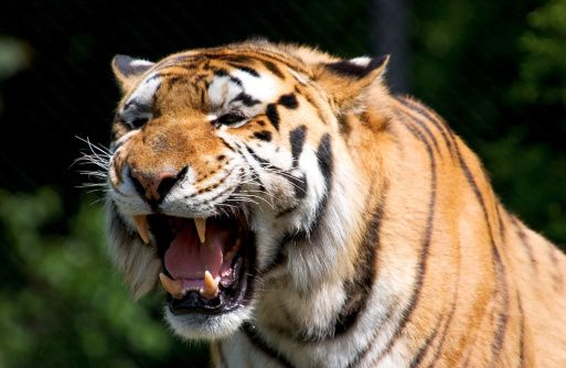 http://www.ngkids.co.uk/did-you-know/10-tiger-facts