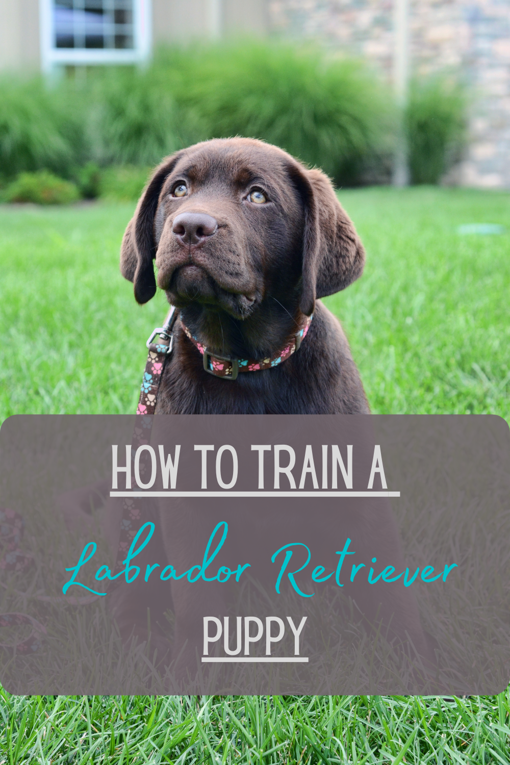 How To Train A Lab Puppy Everything You Need To Know Lab Puppy Training Training A Lab Puppy Puppy Training